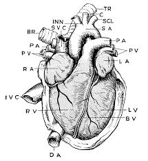 Small Picture 99 ideas Heart Anatomy Coloring Pages on kankanwzcom
