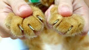 cắt móng chân cho mèo