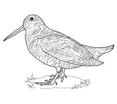 Small Picture American Robin Coloring page Burgess Bird Book Pinterest