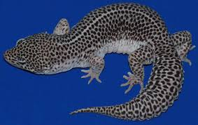 Leopard Gecko Morph Chart 35 Awesome Leopard Gecko Morphs With Pictures The