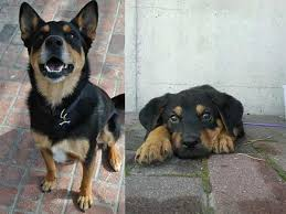 german shepherd rottweiler mix puppies. Plain Rottweiler German Shepherd Rottweiler Mix In Puppies I