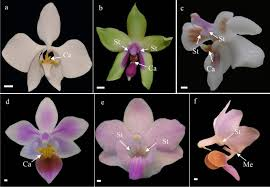 bee pollinated phalaenopsis species