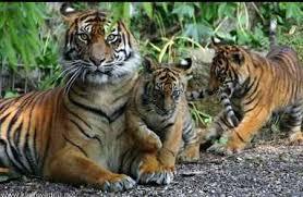 Животное Тигр реферат фото Животный мир Его охотничьи владения пространны он повсевременно в поиске новых жертв охотится в главном в одиночку Хороший бегун правда лишь на маленьких дистанциях