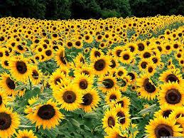 Free download yellow flowers wallpaper ...