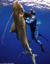 shark attack on humans.  Humans Shark Being Wrangled By Human And Attack On Humans E