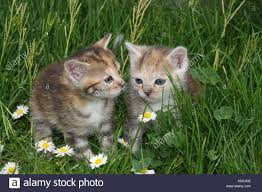 garden animals. Beautiful Garden Cats Young Sit Meadow Garden Animals Mammals Pets Small Cats  Felidae Domesticates House Cat Young Animal Kitten Two Siblings Play Together  With Garden Animals