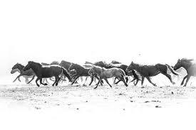 running horses black and white. Fine White Image 0 In Running Horses Black And White O