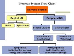 Human Body Systems Organization Of The 13298960027 Flow Chart