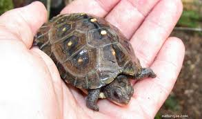 box turtle size eastern box turtle care sheet