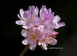 Armeria seticeps Rchb. - Un Fiore alla volta di Giorgio Venturini ...