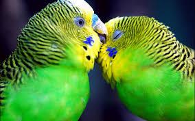love birds hd wallpapers beautiful loving birds wallpapers hd 1600x1000