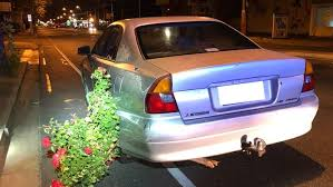 Alleged drink driver loses licence after <b>police</b> spot <b>rose</b> bush ...