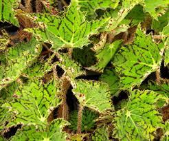 4 pot peter piper nia plant