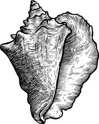 Best Conch Shell Illustrations Royalty Free Vector Graphics Clip