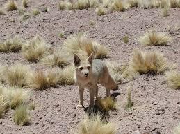 nocturnal desert animals. Fine Desert Desert Fox Chile Inside Nocturnal Animals _