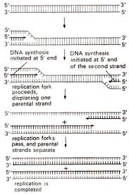 semi discontinuous dna replication chemistry of the gene  continuous dna replication on both strands initiated independently at the two ends as observed in