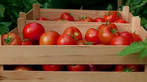 worker putting ripe red tomatoes in wooden boxes at greenhouse close up daylight farmer picking fresh and organic fruits and sorting in crates