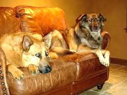 leather couches and dogs dog leather couch on sofa light dark fake proof furniture dogs and
