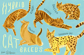 savannah cat chart hybrid cats that evoke their wild cousins