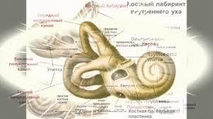 Презентация Реферат Строение и функции органа слуха  Презентация Реферат Строение и функции органа слуха