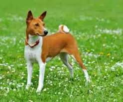 the basenji is actually the best dog breed to consider this also sheds minimally and this only requires a little care since this is famously quiet