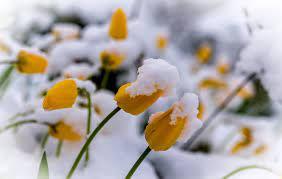 white, flowers, plants, snow, winter ...