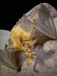 Types Of Bats Chart 9 Of The Coolest Bat Species In The United States U S