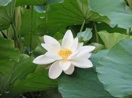 File:White lotus zizhuyuan.jpg ...