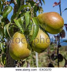 Tree Fruit Crops  Vegetable ResourcesGroup Of Fruit Trees