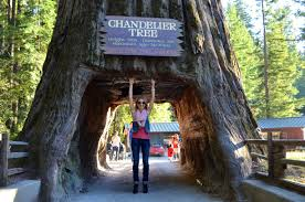 leggett california drive thru chandelier tree in