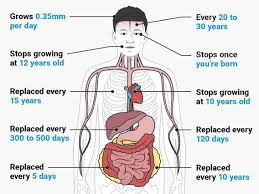Body Regeneration Chart Facts About The Human Body How Long It Takes To Grow Cells