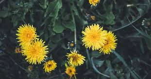 13 Potential Health Benefits of <b>Dandelion</b>