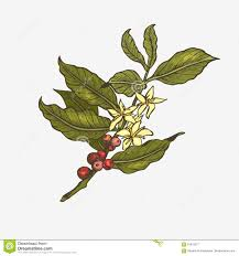 vintage coffee plant illustration. Modren Plant Coffee Tree Illustration And Vintage Plant Illustration
