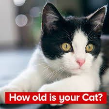Cat Years Chart Calculator Cat Years To Human Years Calculator Know How Old Is Your Cat