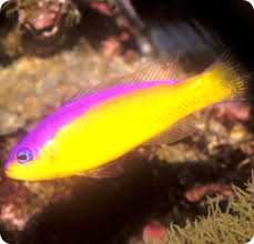 Dottyback Compatibility Chart Diadem Dottyback Purple Stripe Pseudochromis