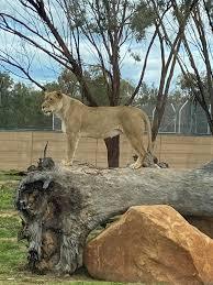 Dubbo zoo doing a massive blep. Omg she ...