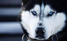 white husky wolf mix. Modren Wolf White Siberian Husky Wolf Mix Intended F