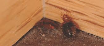 if one room has bed bugs do they all