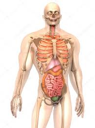 Organs In The Human Body Human Anatomy Of Internal Organs Human Anatomy