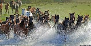 wild horses running through water.  Through A Shot Of A Horse Herd Taken In The Summer Shows Them Fording Shallow  Stream In Wild Horses Running Through Water F