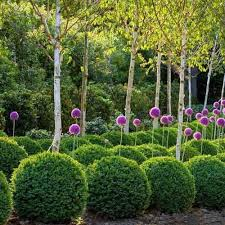 buxus ball 35cm clarenbridge garden