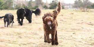 are labradoodles good hunting dogs