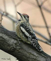 aka bird nerd acirc acirc acirc  yellow bellied sapsucker glen tepke