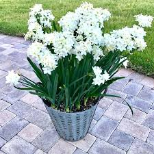 White Paper Flower Bulbs Paper White Lily Chillfy Co