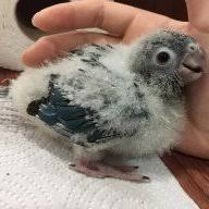 1 Month Old Green Cheek Conure Weight Avian Avenue Parrot