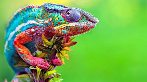 Chameleon Changing Color Best Of Chameleons Changing Colors