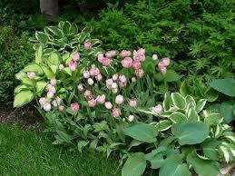 hosta panion plants what to plant