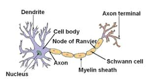 Control And Coordination Nervous System Class 10 Control