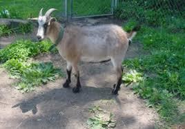 My Pygmy Goats