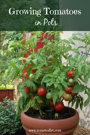 benefits to growing tomatoes in pots or containers